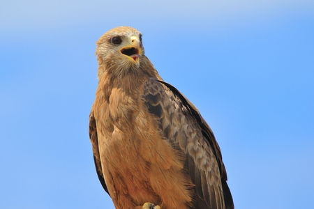 raptors: Yellow billed Kite - African Raptors - Portrait of an Icon