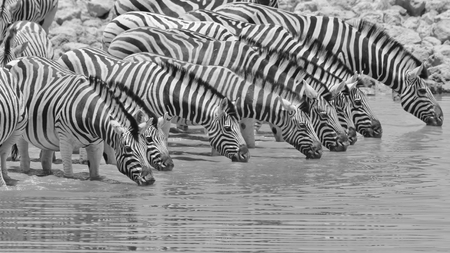 ゼブラ背景 - アフリカの野生動物背景 - 白黒のストライプに並んで