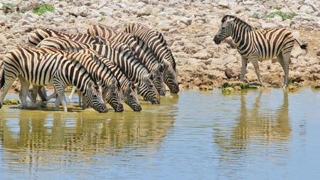 antics: Zebra  African Wildlife Background  Reflection of Iconic Stripes