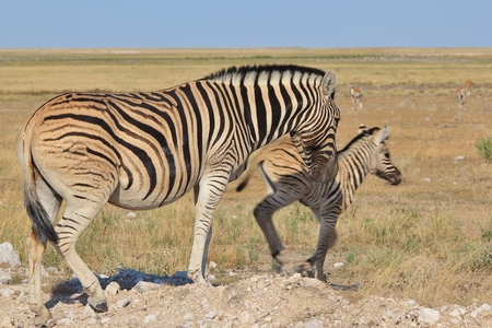 vulnerable: Zebra  African Wildlife Background  Baby Animal and their Mom