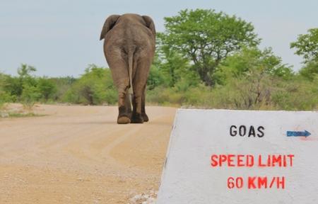 hilarious: African Elephant - Wildlife Background - Funny Nature and Hilarious Animals