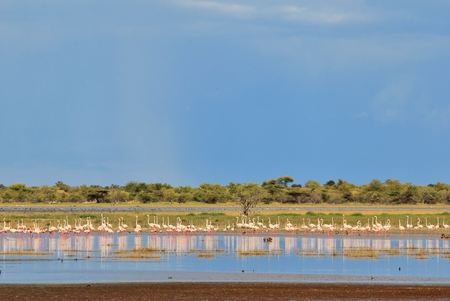tranquility: Flamingo Background  African Wildlife  Bliss and Tranquility Stock Photo