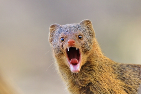 mongoose: Slender Mongoose - African Wildlife Background - Want a Bite of this