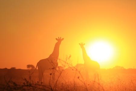 bliss: Giraffe Background - African Wildlife - Bliss of Light Stock Photo