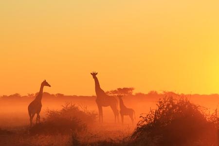 giraffe silhouette: Giraffe Silhouette - African Wildlife Background - The Golden Family