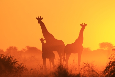 Giraffe Silhouette - African Wildlife Background - Portrait of a Golden Family