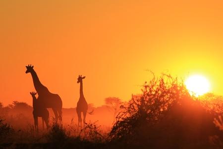 キリン背景 - アフリカの野生動物 - ゴールデン家族
