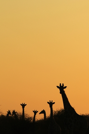 tranquility: Giraffe Background - African Wildlife - Silhouettes of Tranquility