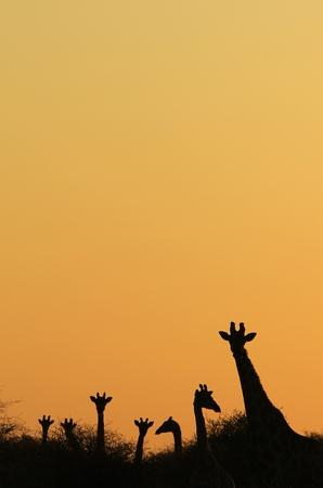 giraffe silhouette: Giraffe Silhouette - African Wildlife Background - Golden Peace