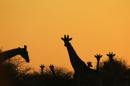 giraffe silhouette: Giraffe Silhouette - African Wildlife Background - Iconic Natural Shapes Stock Photo