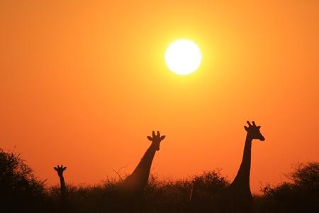 giraffe silhouette: Giraffe Silhouette - African Wildlife Background - Golden Posture of an Icon