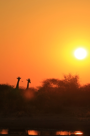 Giraffe - African Wildlife Background - Sunset Wonder and Colors in Nature