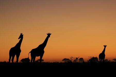 and magnificent: Giraffe - African Wildlife Background - Magnificent Colors in Nature Stock Photo