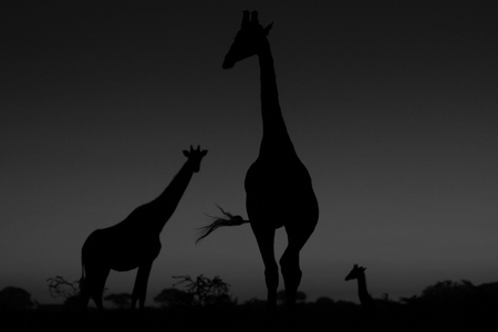 giraffe silhouette: Giraffe Silhouette - African Wildlife Background - Iconic Freedom