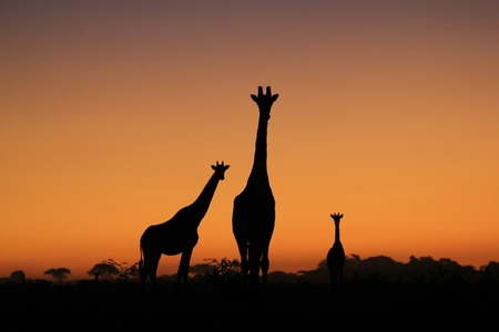giraffe silhouette: Giraffe Silhouette - African Wildlife Background - Iconic Shapes in Nature Stock Photo
