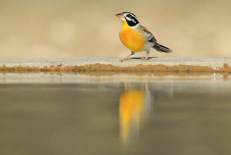 Golden Bunting - Exotic and Tropical Wild Bird Background - Magical Bliss