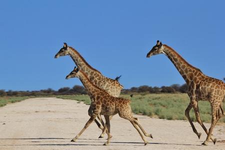 Giraffe Background - African Wildlife - Run of Life Stock Photo