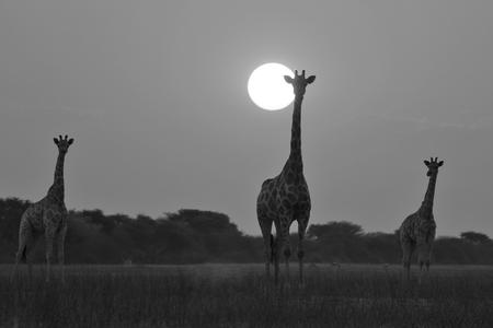 giraffe silhouette: Giraffe Silhouette - African Wildlife Background - Simplistic Nature Stock Photo
