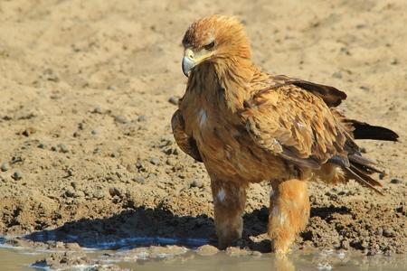 Tawny Eagle - African Wildlife Background - Pride
