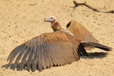 Lappet-faced Vulture - African Raptor Background - Icon of the Skies