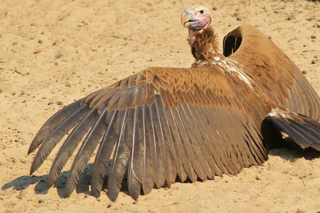 lappet: Lappet Faced Vulture - African Raptor Background - Wings Impressive Stock Photo