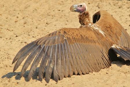 Lappet Faced Vulture - African Raptor Background - Wing Wonder