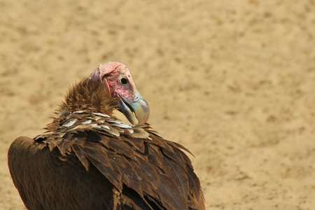 Lappet faced Vulture - African Raptor Background - Grooming Power