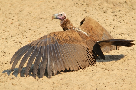 lappet: Lappet faced Vulture - African Raptor Background - Wings over the World