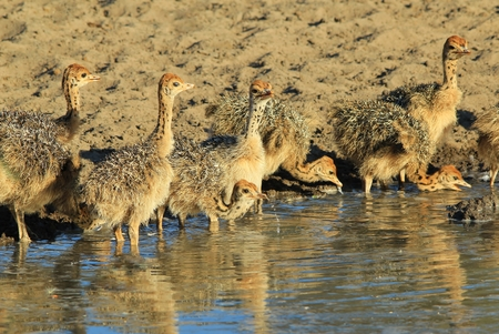 ostrich chick: Ostrich Chicks - African Wildlife Background - Baby Animals Cute and Adorable Stock Photo