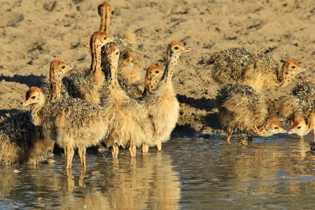 ostrich chick: Ostrich Flock - African Wildlife Background - Baby Animals Adorable