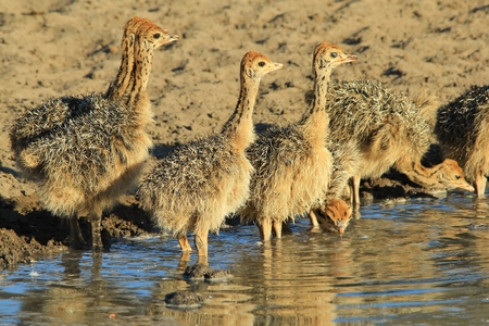 ostrich chick: Ostrich Chicks - African Wildlife Background - Baby Animals in the Wild