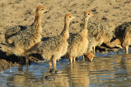 ostrich chick: Baby Ostrich Background - African Wildlife - Cutest Animals Around