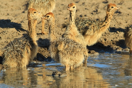 ostrich chick: Ostrich Background - African Wildlife - Adorable Baby Animals Stock Photo