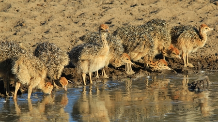 ostrich chick: Ostrich flock - African Wildlife Background - Baby Animals from Nature Stock Photo