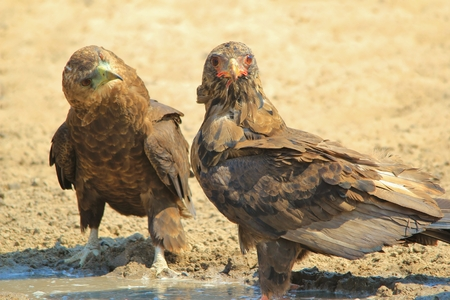 Bateleur Eagle - African Wildlife Background - Funny Moments in Nature Stock Photo