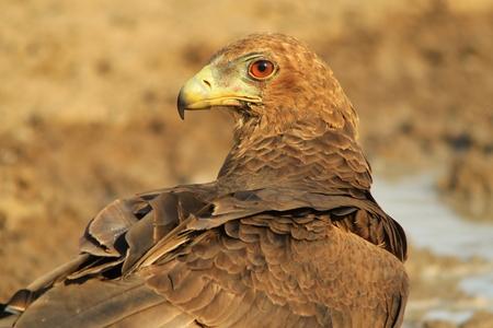 Bateleur Eaglet - African Wildlife Background - Raptor Supreme