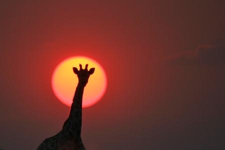 Giraffe Background - African Wildlife - The Golden Beauty of Sunset Wonders