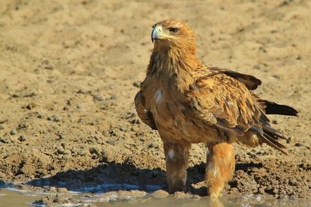 tawny: Tawny Eagle - African Wildlife Background - Golden Bird