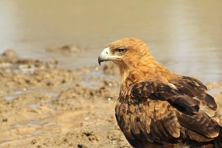 Tawny Eagle - African Wildlife Background - Posing Pride Stock Photo