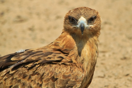 Tawny Eagle - African Wildlife Background - Eaglet of Gold