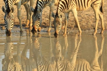 Zebra Background - African Wildlife - Stripes in Nature