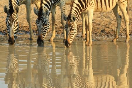 iconic: Zebra Background - African Wildlife - Iconic Reflections