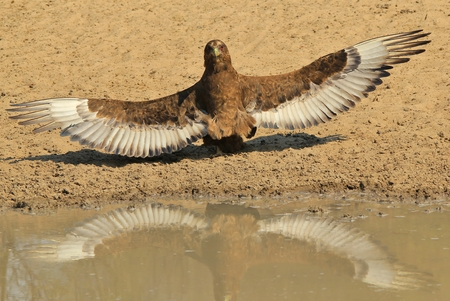 raptor: Bateleur Eagle - African Wild Raptor Background - Iconic Reflections in Nature