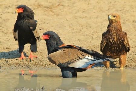 tawny: Bateleur and Tawny Eagles - African Wildlife Background - Sharing is Caring