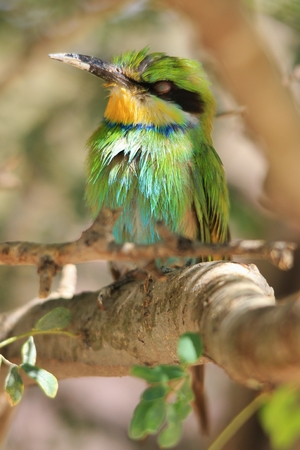 Bee-eater Greens - African Wild Bird Background - Perched Plumage of Color