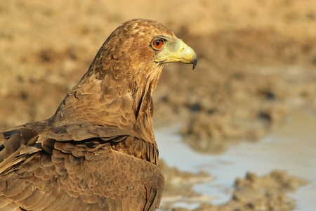 raptor: Bateleur Eagle - African Wild Raptor Background - Classic Pose of an Icon