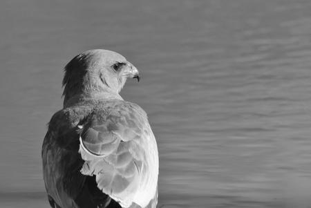 raptor: Pale Chanting Goshawk - African Wild Raptor Background - Beautiful Bliss