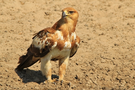 raptor: Tawny Eagle - African Wildlife Background - Super Raptor Stock Photo
