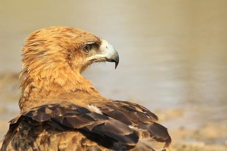 tawny: Tawny Eagle - African Wild Bird Background - Beak of Power
