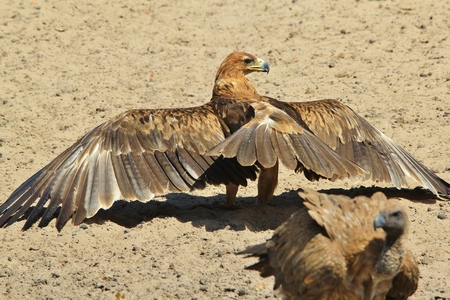 raptor: Tawny Eagle and White backed Vulture - African Wild Raptor Background - Antics in Nature